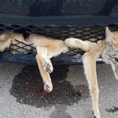 NEVEROVATNO: Tojotom udarila kojota u PUNOJ BRZINI - i nije mu bilo ništa! (VIDEO)