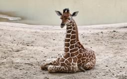 Na indoženaskom ostrvu Bali rođena žirafa koja je dobila ime Korona