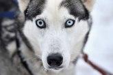 Otkud ovim psima plave oči