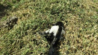 Otrovane ptice na njivi kod Novog Orahova