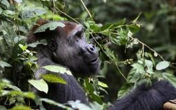 Popis otkrio veliki broj gorila, ali i veliki pad