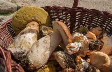 Prodaja gljiva sve unosnija