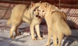 Sinhua: Mladunci polarnog vuka iz Srbije stigli u Kinu