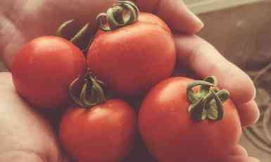 Slađi paradajz iz uvoza