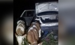 Šverc stoke na Drini: Policija zaplenila telad, šverceri pobegli u Srbiju