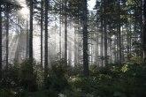 U opasnosti budućnost najdugovečnije vrste drveta u SAD